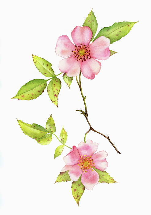 Dog Rose.png